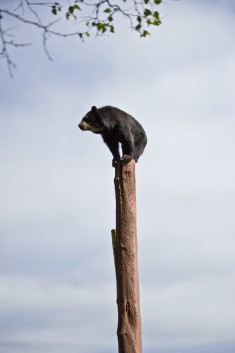 #Bear on the top. #Tree top.