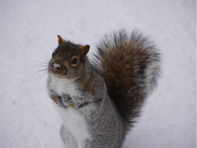 Squirrel in snow (Montreal, Canada)