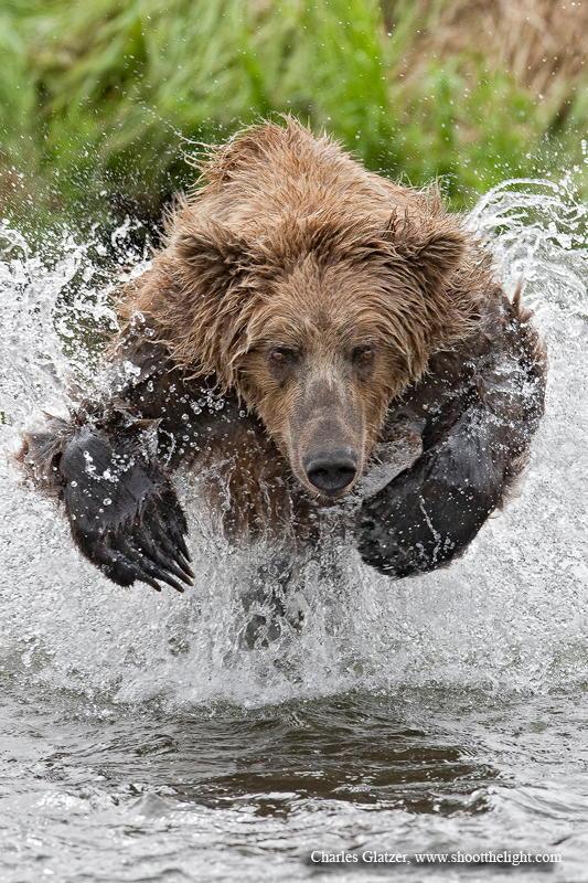 Charging bear by Charles Glatzer – Photo 2370668 – 500px