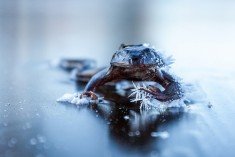 Frozen Frog III | Flickr – Photo Sharing!