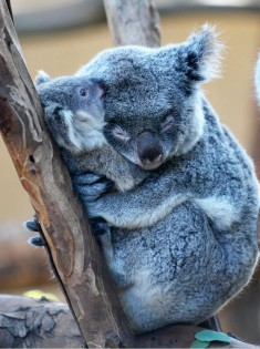 Family care. Koala