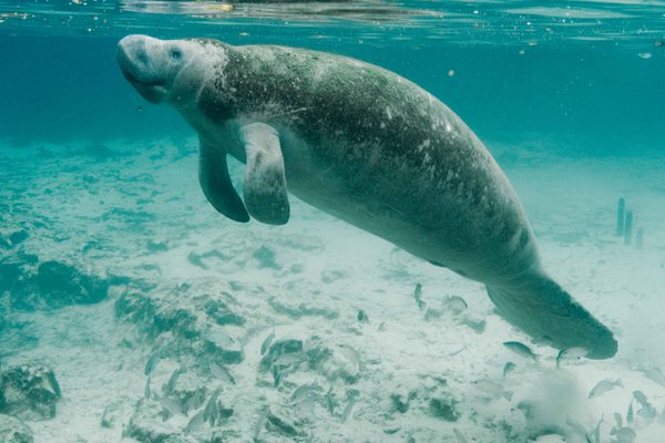 "Ocean Champions on Twitter: ""Will #manatees be affected by power plant closures? https://t ..."