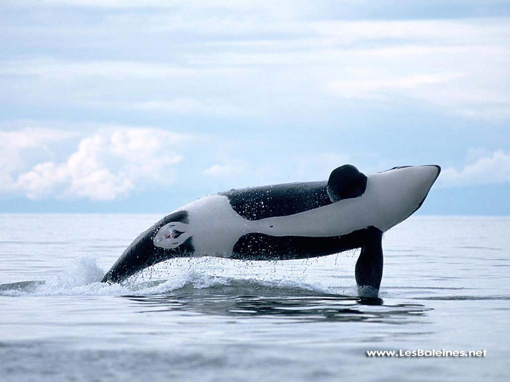 Orca Wildlife Archives Wildlife Archives