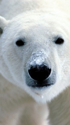 Polar bear nose