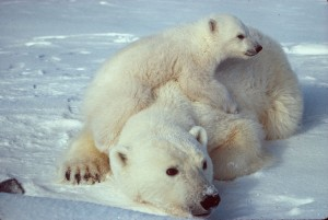 Polar Bear. The famous polar bear. Endangered specy. Cause: global warming. More information her ...