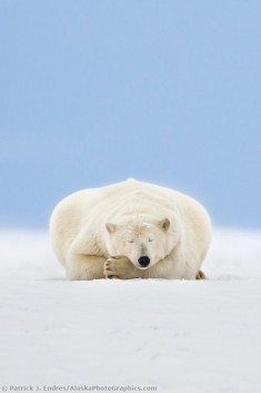 Polar bear resting. Do not disturb!