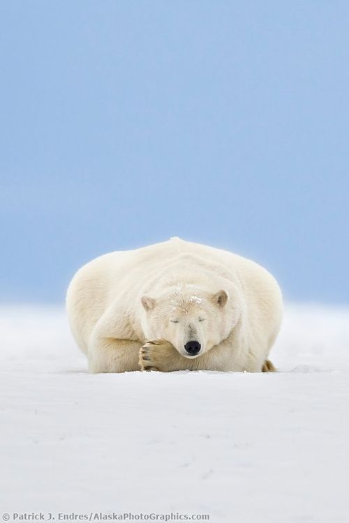 Polar bear resting. Do not disturb!