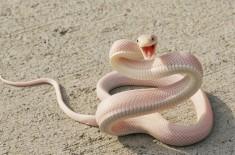 Albino Mamba Snake Smile Photo | One Big Photo