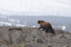 Bear family, Yellowstone National Park
