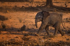 Cute Baby Desert Elephant Photo | One Big Photo