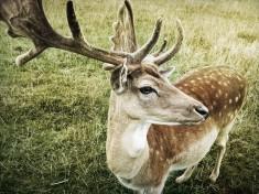 Deer, Saxony, Germany