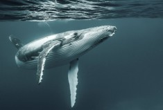 Diving with a humpback whale photo | One Big Photo
