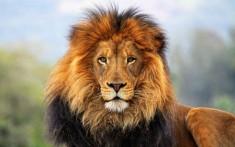 Lion in savanna