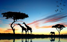 Giraffes and elephant in the sunset
