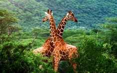 2 giraffes crossing.