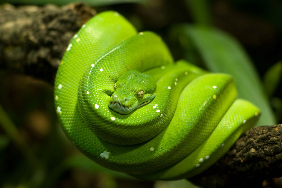 Green Tree Python Photo | One Big Photo