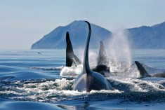 Group Of Killer Whales, Bering Sea Photo | One Big Photo