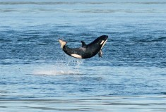 Happy Baby Killer Whale Breaches The Surface Photo | One Big Photo