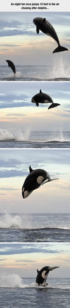 Orca and dolphin jumping