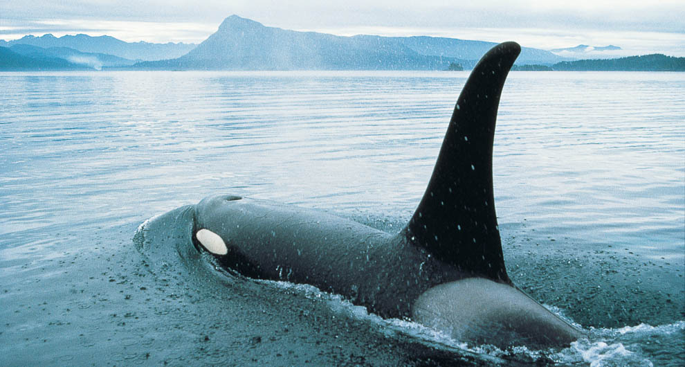 Orca swimming near Robson Bight Ecological Reserve, BC, Canada.Photo: Destination BC
