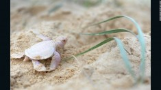 Rare albino turtle found on Australia beach – CNN.com