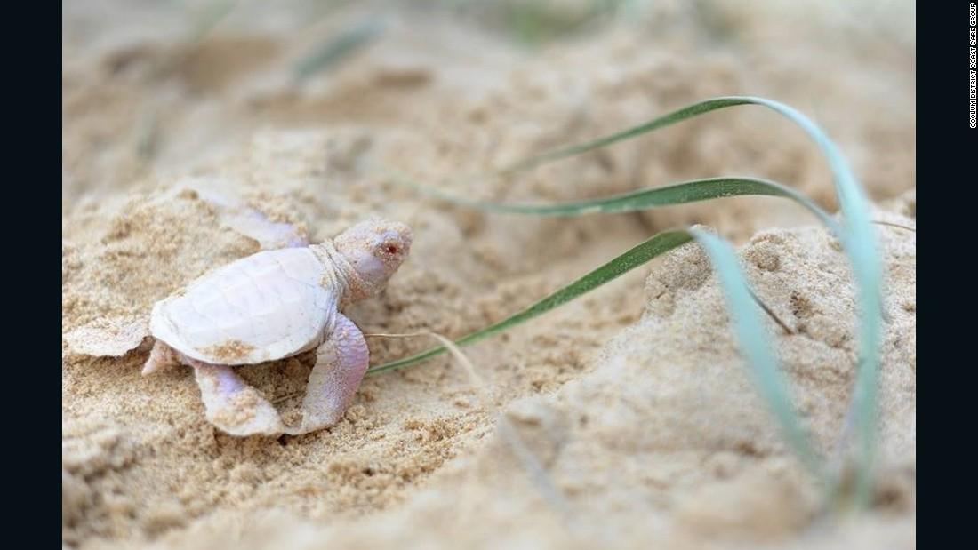 Rare albino turtle found on Australia beach – CNN.com