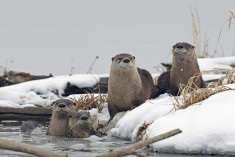 River otters enjoy the partially frozen wetlands at Squaw Creek National Wildlife Refuge by Kenn ...