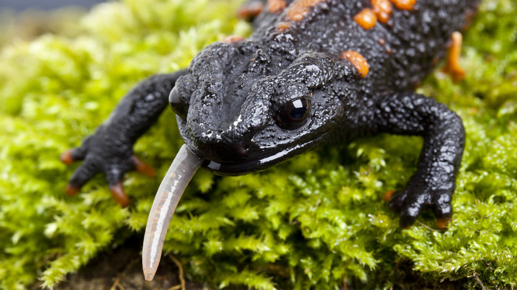 U.S. Restricts Movement of Salamanders, for Their Own Good – The New York Times
