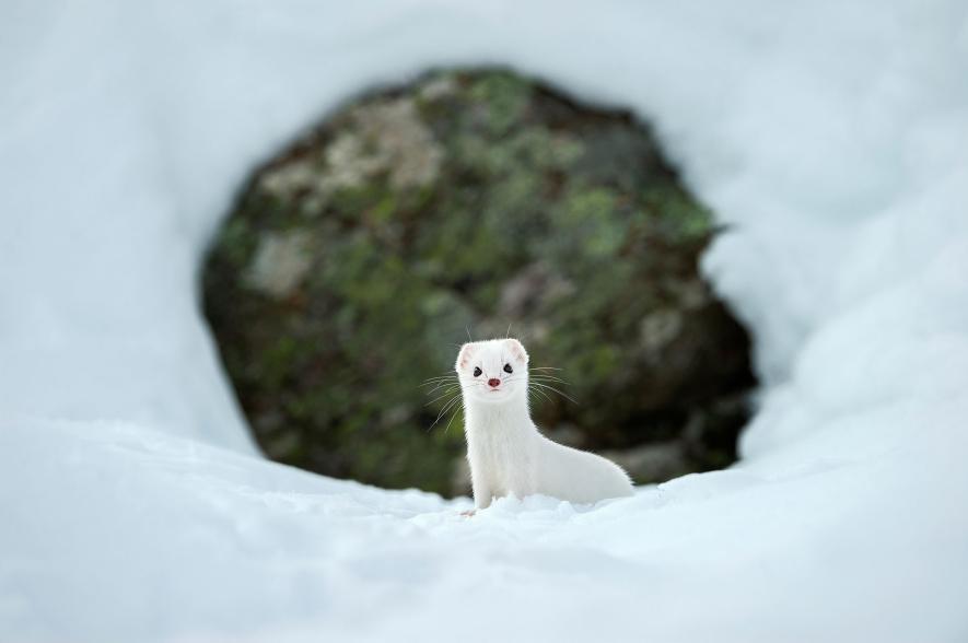 White ermine – Gran Paradiso National Park (Italy)