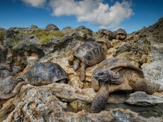 Aldabra Giant Tortoises Image, Seychelles – National Geographic Photo of the Day