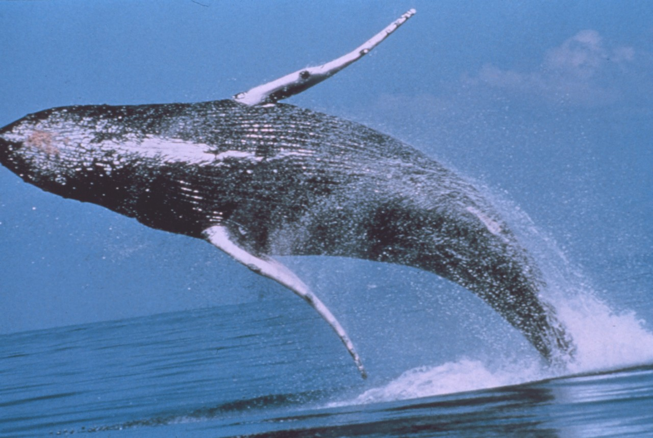 Humpback whale. Spectacular jumps!