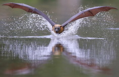 Bat flying over water