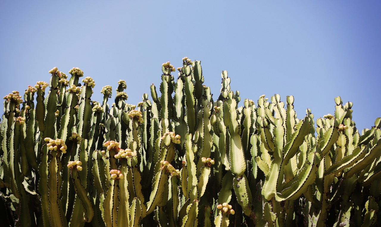 Cactus in flower
