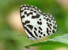 Common Pierrot butterfly, India