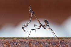 A conehead mantis (Empusa Pennata) walking on a rail track somewhere in mountainous Arcadia, Sou ...