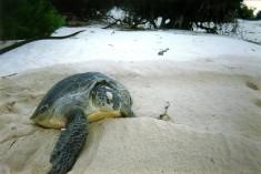 Turtle, Europa island