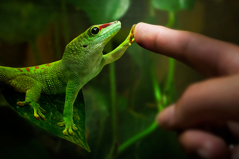 Gecko and human