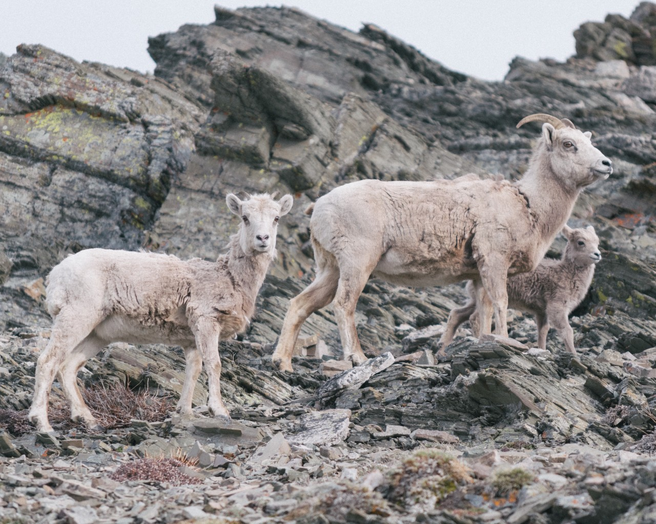 Goats in mountain
