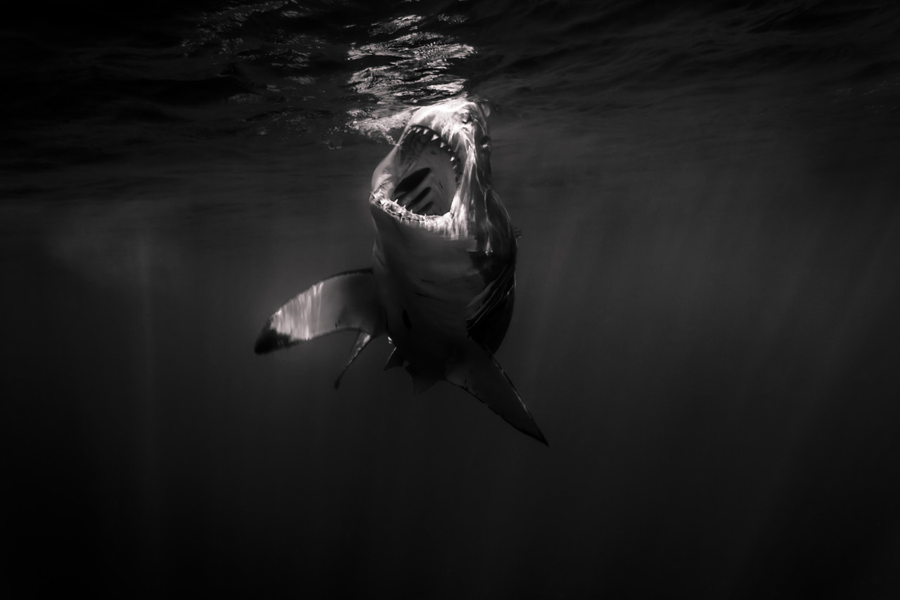 Great white shark open mouth. Just amazing.