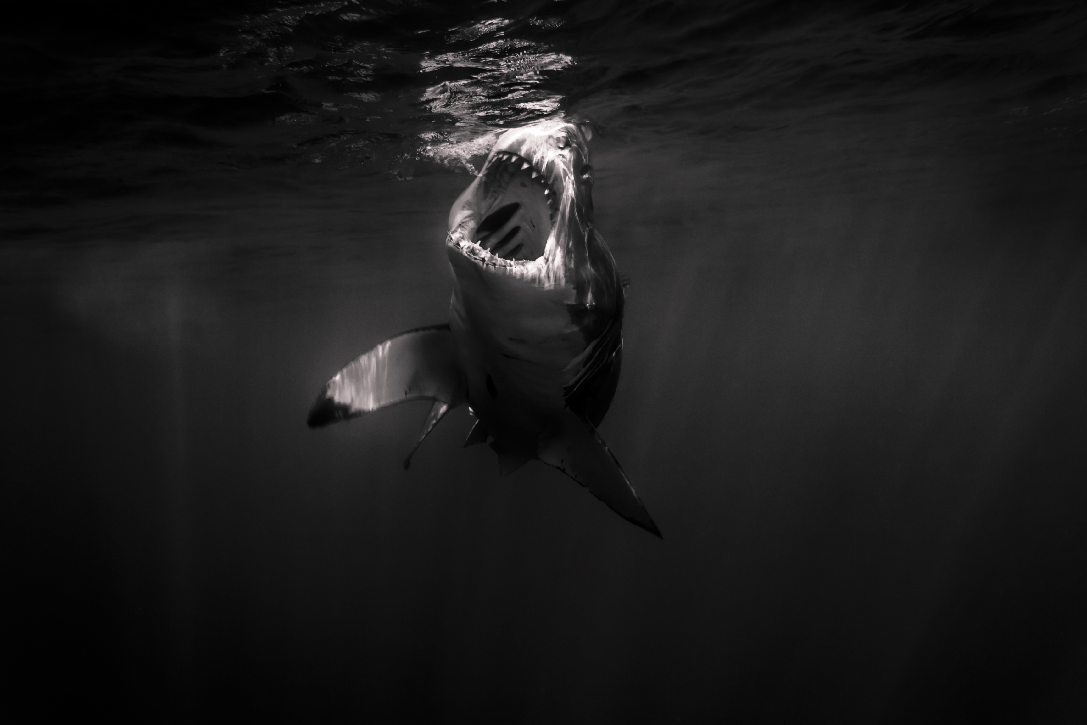 Great White Shark Open Mouth Just Amazing Wildlife