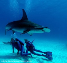 Hammerhead shark and divers