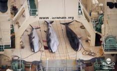 Le Japon a tué 333 cétacés dans l'Antarctique – Les Baleines