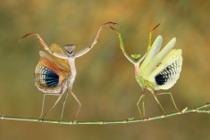 Mantises preparing their defense