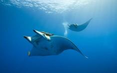 Giant ray manta
