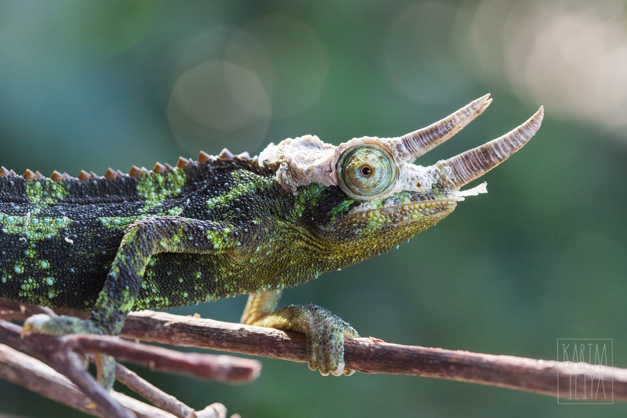 Reptiles and Amphibians – Karim Iliya Photography