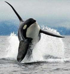 SeaWorld va arrêter l'élevage des orques – Les Baleines