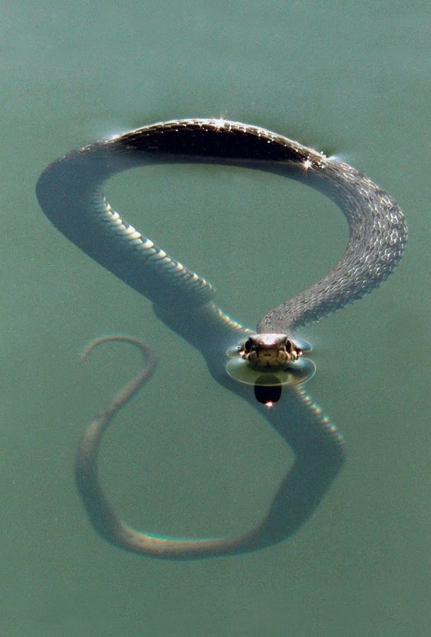 Snake in water