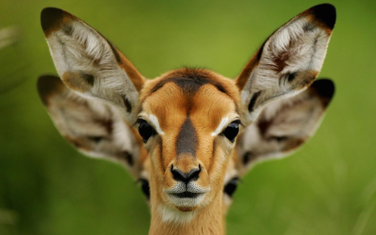 Fawn ears