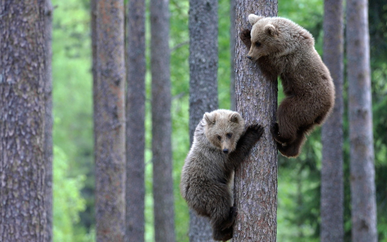 Bear cubs climbing a tree