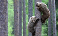 Bear cubs climbing a tree